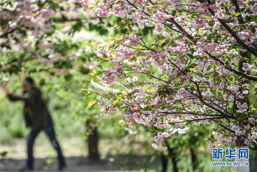 这是5月10日拍摄的大连市旅顺口区二零三樱花园内盛开的樱花。 新华社记者 潘昱龙 摄