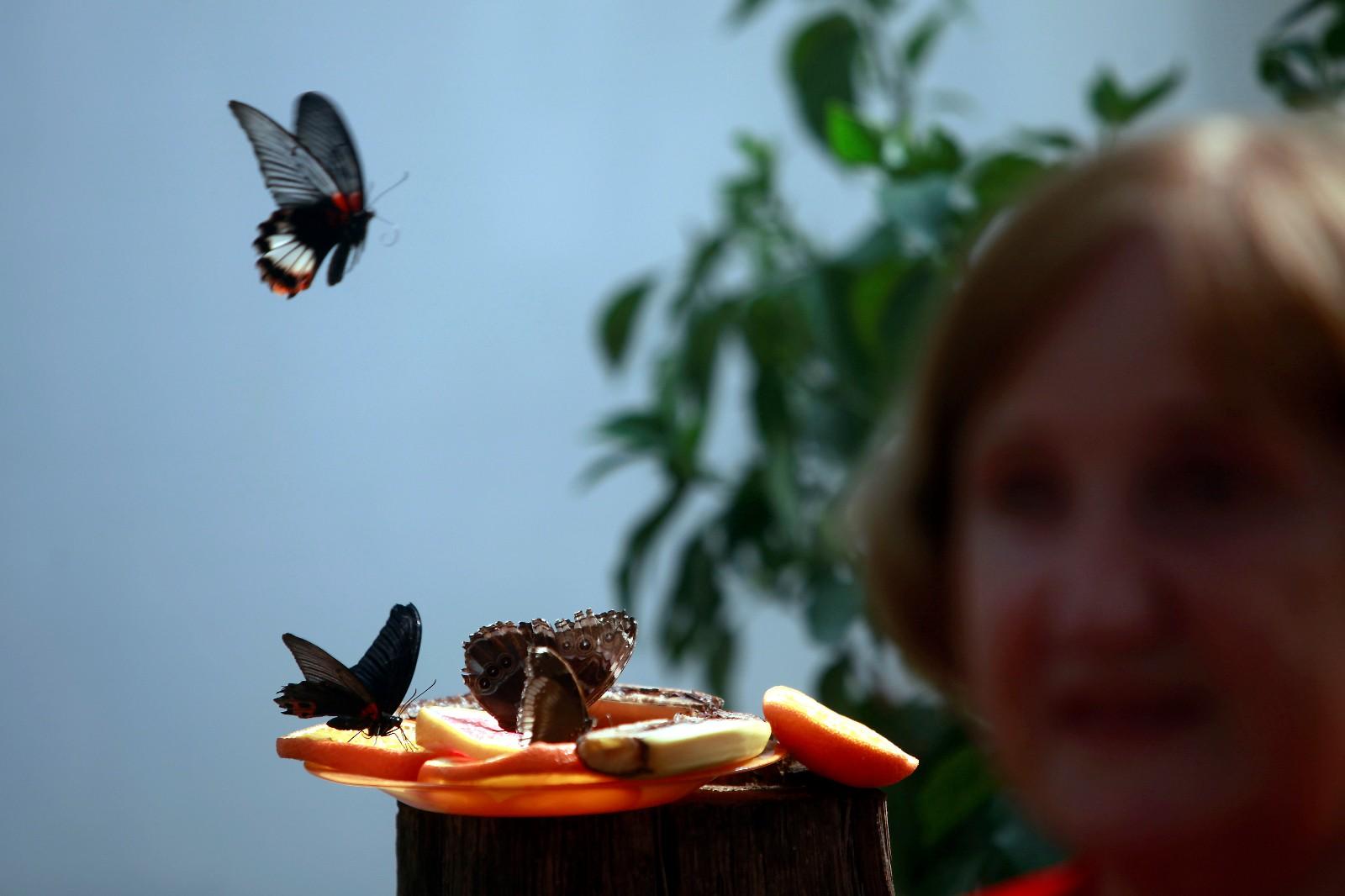 5月13日,在拉脱维亚的特尔维特蝴蝶园,一名游客在观赏蝴蝶。 特尔维特的蝴蝶园养殖有来自亚洲、南美洲和非洲的各种珍稀蝴蝶。 新华社/欧新