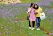 贵州瓮安:荒坡变花海 美景引客来