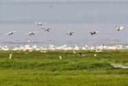 鄱陽湖頻現珍稀鳥種