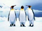 南极无冰区发现数百只企鹅木乃伊 谁是害死它们的元凶