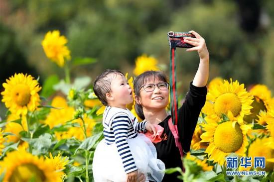 (环境)(5)葵花盛开逐秋阳