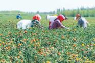 內蒙古巴彥淖爾:鹽堿灘變身米糧川