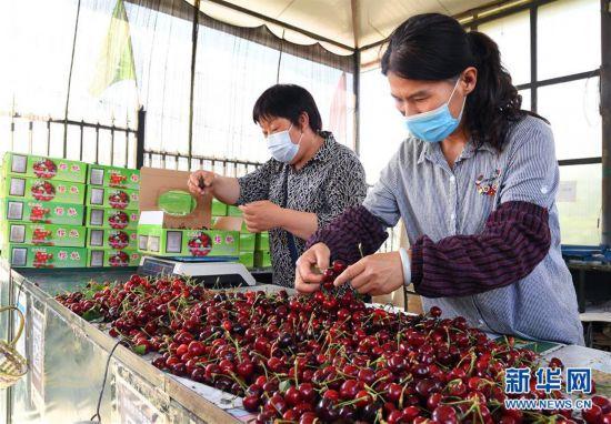 (经济)(3)北京:迎来樱桃采摘季