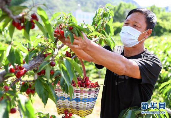 (经济)(4)北京:迎来樱桃采摘季
