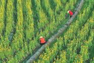 油菜花黃 豐收在望