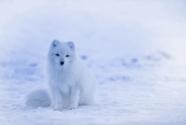從#十萬只極狐等您來領養#說起,ARCFOX為何定名極狐?