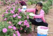 河南杞縣:玫瑰飄香 浪漫屯莊