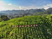重慶巫溪探索現代山地特色高效農業發展路徑