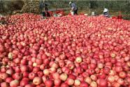 多地苹果低价滞销:拿什么拯救果农?
